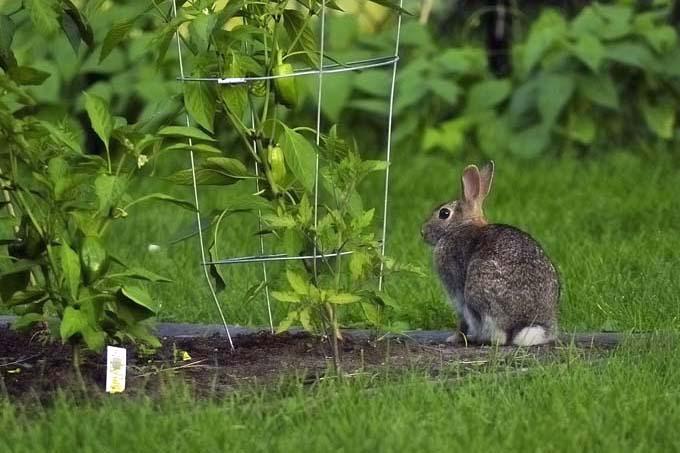 Rabbits can wreak havoc on your garden | Gardenerspath.com