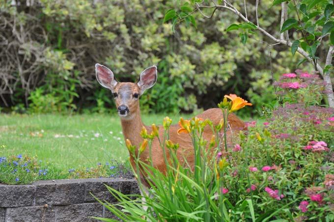 Doe in Garden | GardenersPath.com