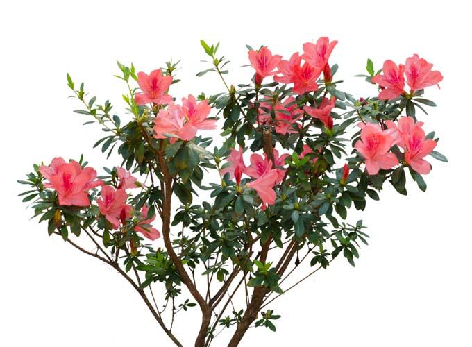 How to Propagate Azaleas | GardenersPath.com