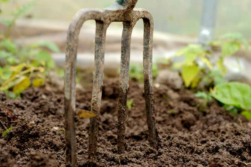 A close up of a potato fork stuck in the dirt in a garden setting.