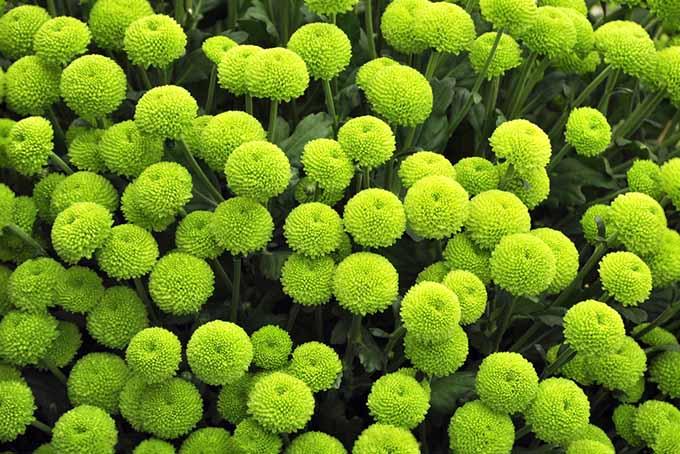 Green Chrysanthemums | GardenersPath.com