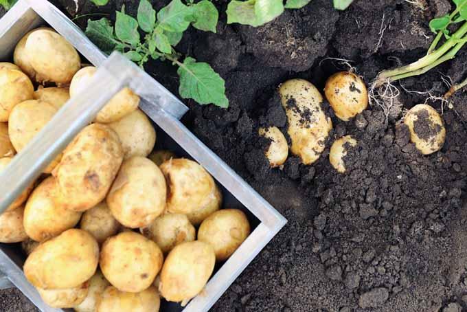 Harvesting Potatoes Cover | GardenersPath.com