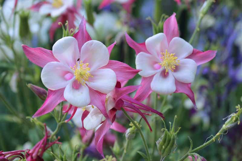 Pink and white columbine flowers with white centers.