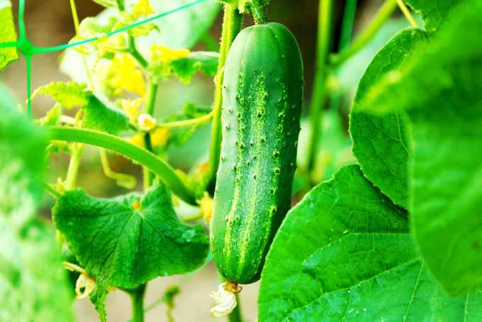 Easy Tips On How To Grow Cucumbers | GardenersPath.com