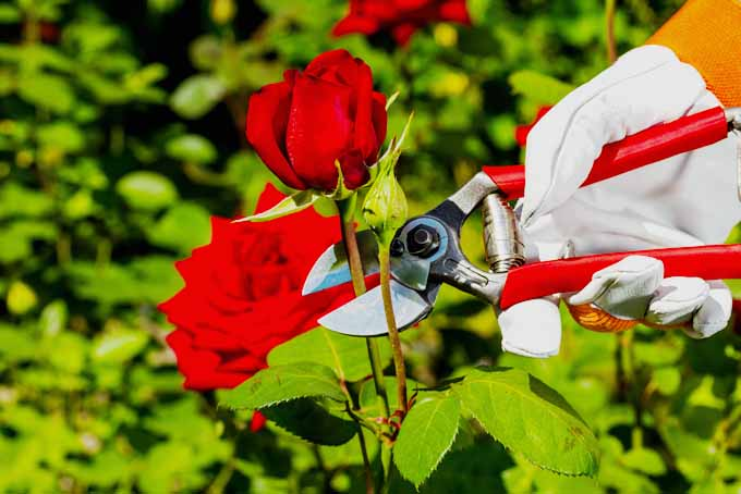 Tips For Pruning Roses | GardenersPath.com