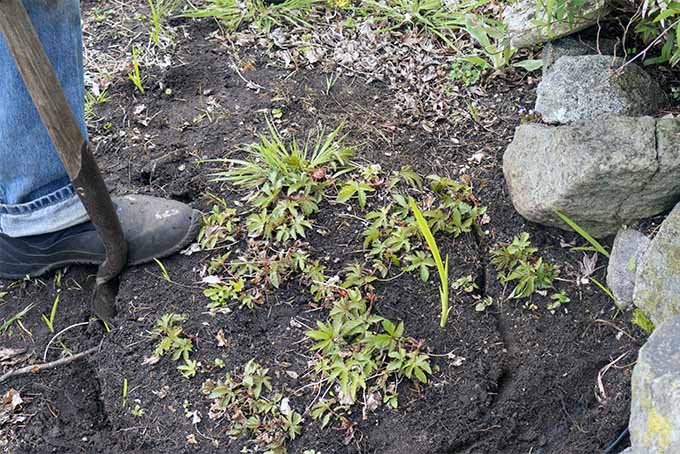 Carefully dig up perennial plants to divide them | Gardener