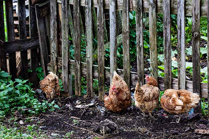Learn about whether you should fence your chickens in or let them roam in your garden | Gardener