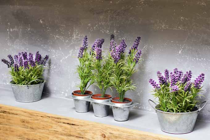 How To Grow Lavender in Every Climate | GardenersPath.com