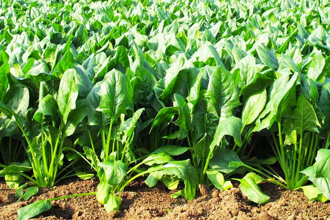 How To Grow Spinach In Your Backyard | GardenersPath.com