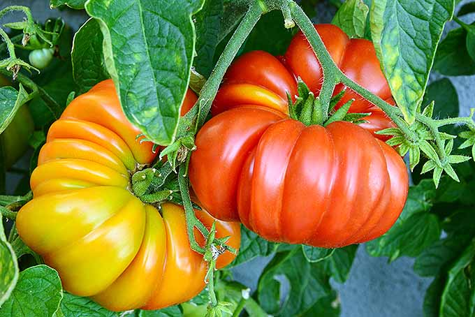 15 Best Heirloom Tomato Varieties for the Garden | GardenersPath.com