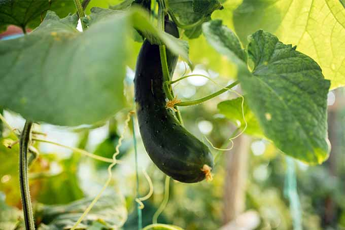 Learn which cucumber varieties will do well in your garden | GardenersPath.com