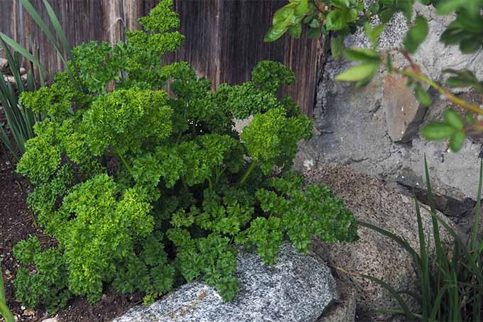 Use curly leaf parsley as an accent plant in your landscape | GardenersPath.com