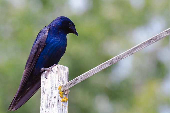 Attract purple martins by installing the right housing | GardenersPath.com