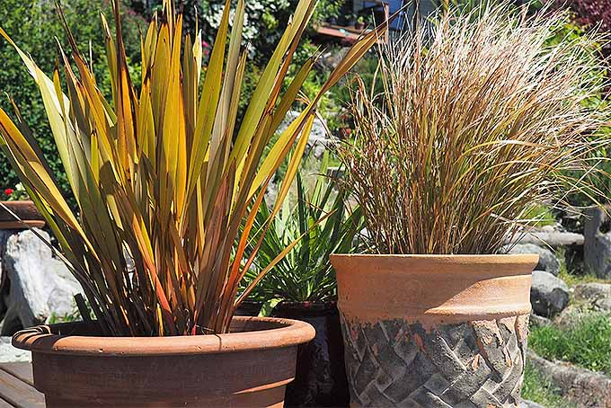 Potted ornamental grasses. | GardenersPath.com