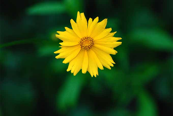 Bright yellow coreopsis, or tickseed, bloom | GardenersPath.com