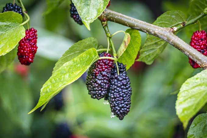 A close up photo of mulberries hanging on tree branches along with green leaves | Gardener