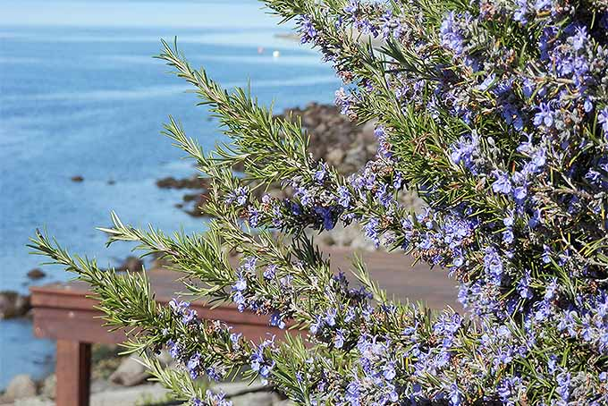 Grow rosemary with these tips. | GardenersPath.com