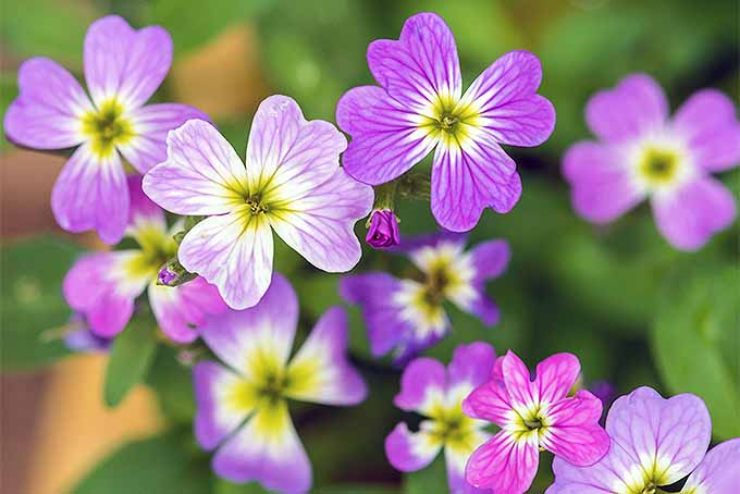 How to Grow Virginia Stock in Your Garden | GardenersPath.com