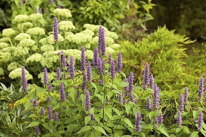 Agastache foeniculum | GardenersPath.com