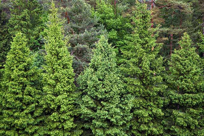 Spruce windscreen | GardenersPath.com