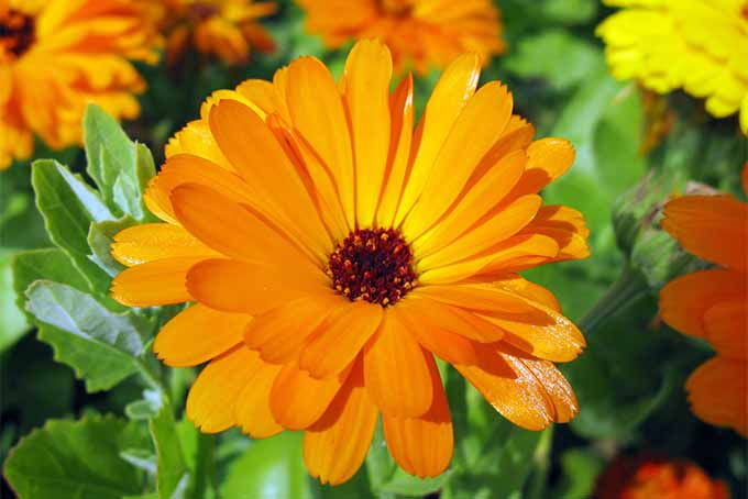 Pot marigold offers three seasons of stunning color | GardenersPath.com