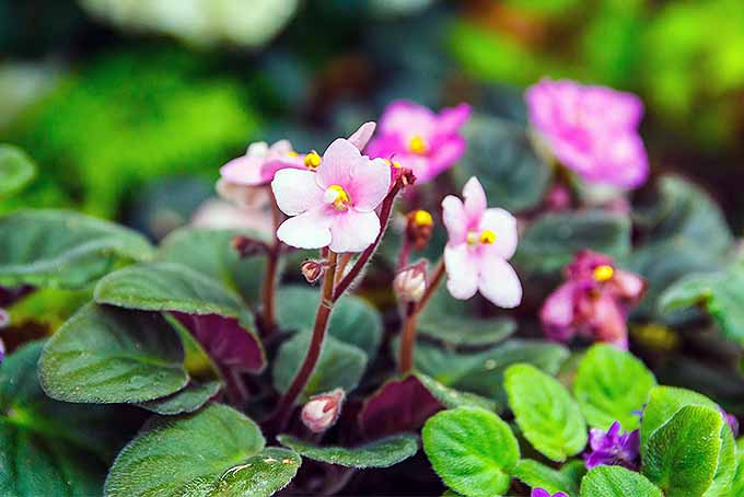 Learn How to Grow African Violets | GardenersPath.com