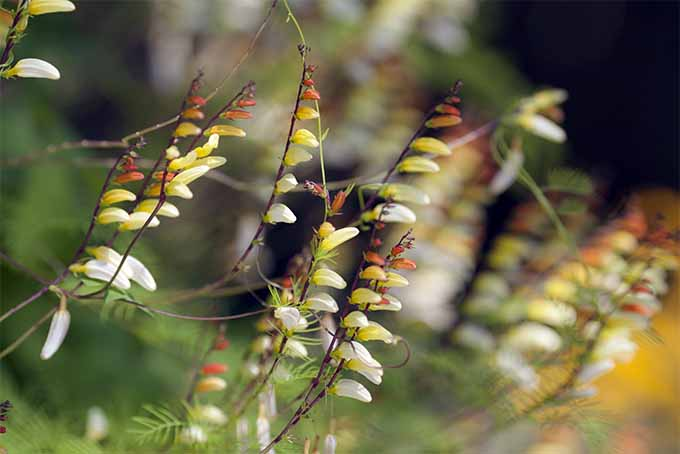 Mina lobata is a fast-growing vine that adds brilliant color to the landscape | GardenersPath.com