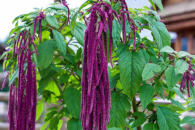 Add a Touch of Drama to the Garden with Love Lies Bleeding | GardenersPath.com