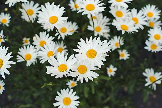 Grow classic chamomile. | GardenersPath.com
