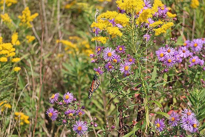 New England Aster | GardenersPath.com