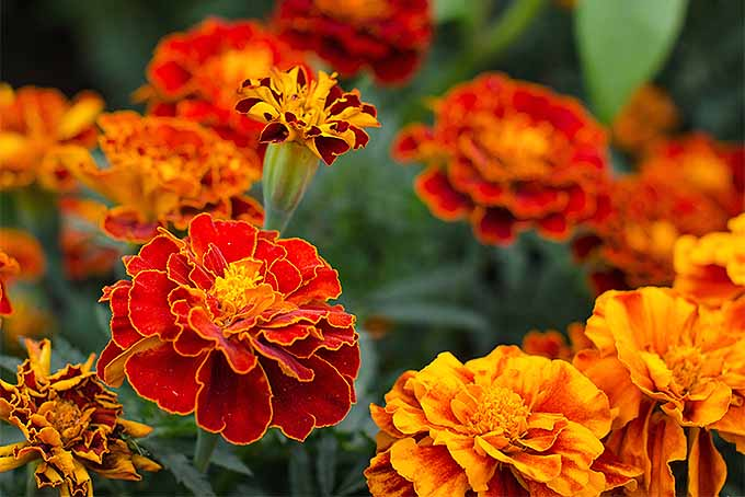 Grow marigolds in your garden | GardenersPath.com
