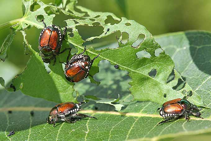 Japanese beetles eating leaves. | GardenersPath.com