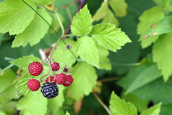 A branch with seven black raspberries, one that is large and dark purple and others that are smaller and red, with pale green teardrop-shaped leaves with prominent veins on skinny branches.