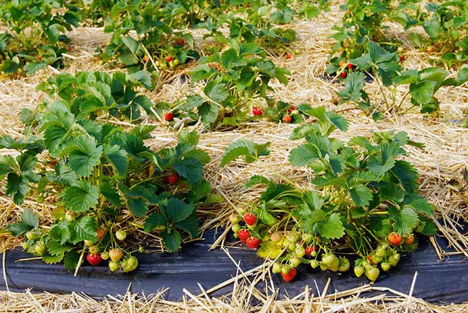 A few strawberry plants are growing in a garden. The garden has a black plastic lining with straw on top amongst the plants. Some of the fruit are red and ripe while others are yellow and not yet ready to be eaten.