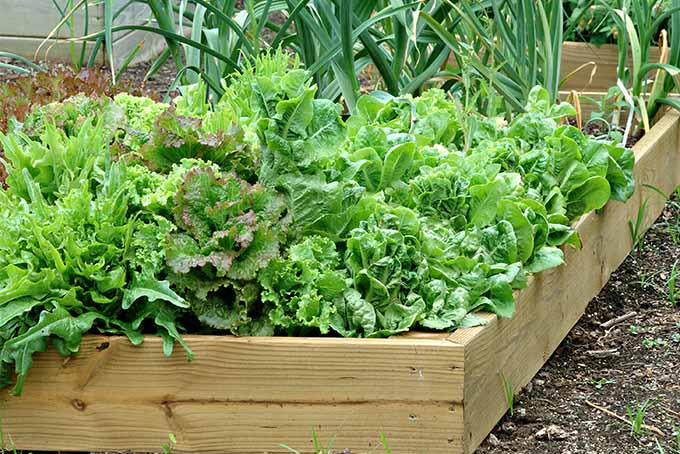 Several varieties of leaf lettuce growing in wooden raised garden beds in the foreground, with onions topped with green growing in the background.