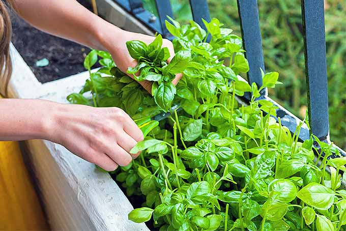 A woman holds a sprig of basil growing in a raised planter along an iron fence with one hand, and clips the stems with scissors with the other.