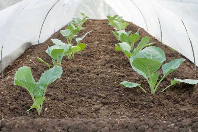The inside of a row cover hoop house showing tender seedlings being protected from the elements and insects.