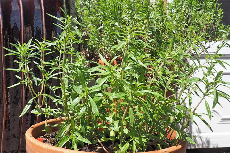 A tall summer savory herb growing in a large terra cotta pot on a garden patio.