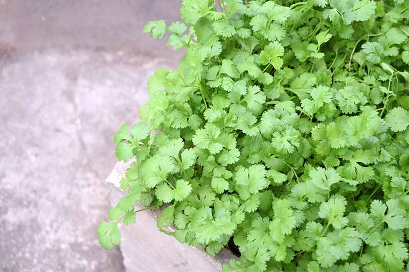 Small green cilantro leaves growing in a cement planter, on a gray background.