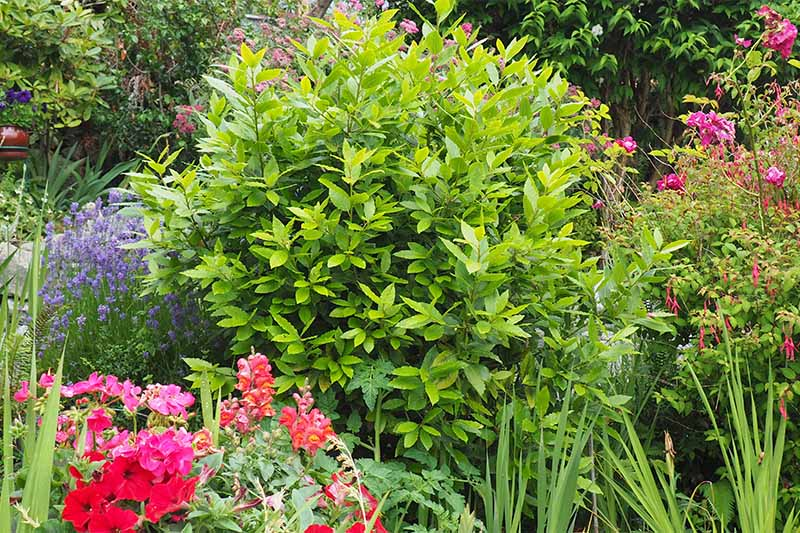 Green bay laurel shrub growing between pink, red, and purple flowers, and other types of plants.