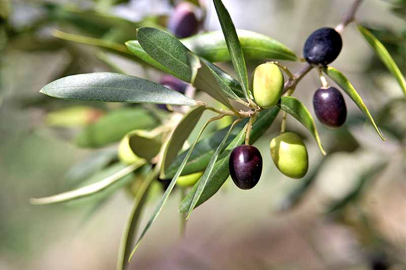 Green and purple olives grow on a branch with long, narrow green leaves.