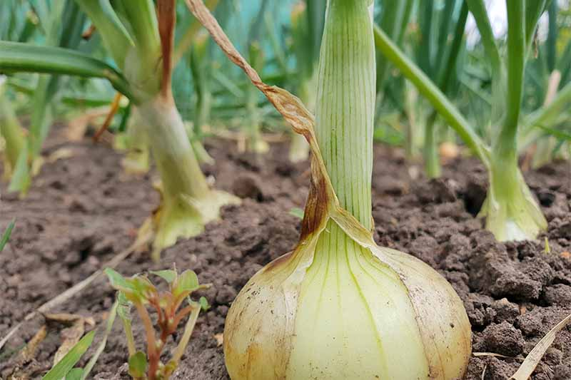 Closeup of a yellow onion with green top growing in brown soil, with more in the background.