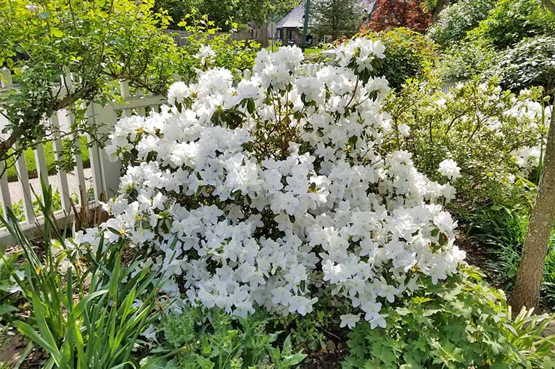 A white azalea bush growing in the sunshine, among other trees and shrubs in the garden.