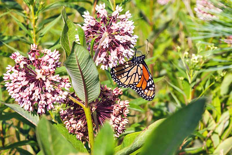White and purple milkweed flowers, with an orange and black Monarch butterfly, and large green leaves.