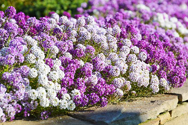 Alternating Purple And White Alyssum Flowers Creating An Edge Border In A Garden Bed