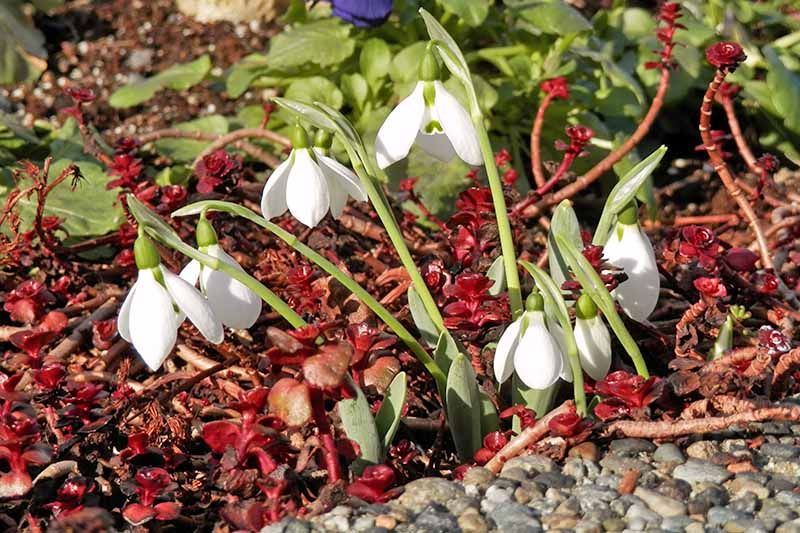 Snowdrops growing with other plants with red and green foliage in the garden.