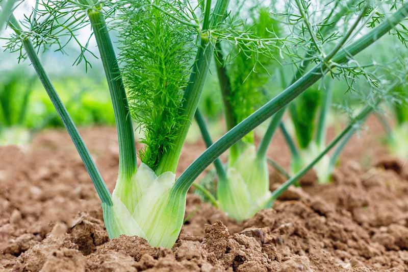 A close up photo of a row a bulb type fennel growing in garden soil.