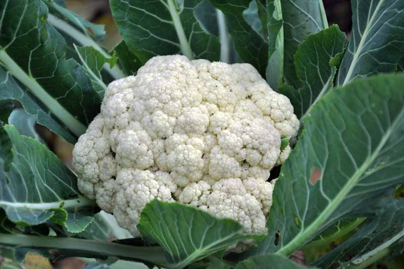 Oblique view of a white head of cauliflower growing in the garden.