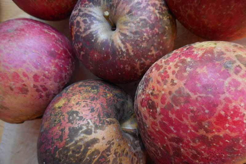 Close up of a batch of apples covered with severe sooty blotch fungal infection.