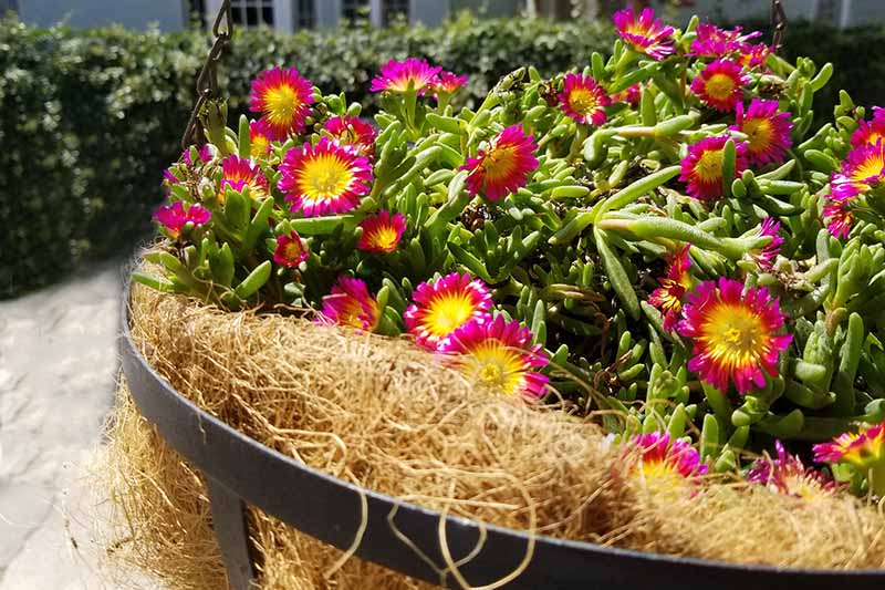 Colorful annual flowers being grown in a large coconut coir planter.